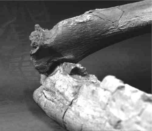 The mark on this femur of Cryptoclidus matches the shape of the lower jaw of Liopleurodon.