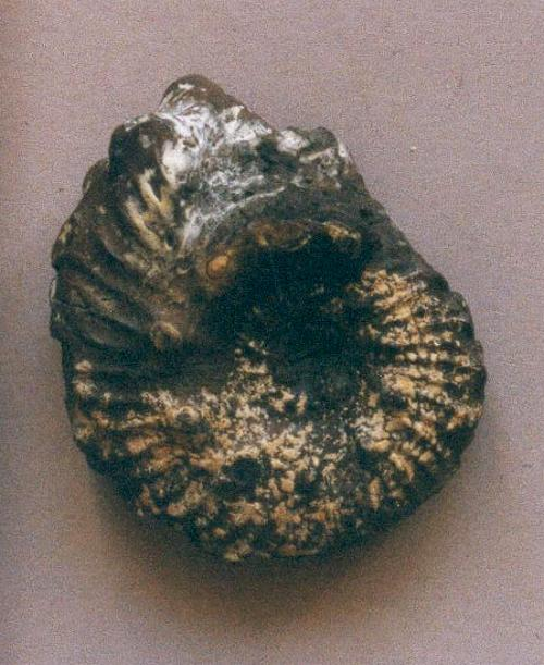 Ammonite from the Gault
